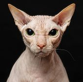 Sphynx Cat Sitting Isolated On Black Background poster