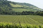 picture of dork  - Vineyard at Dorking - JPG