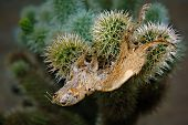 The Decaying Remains Of A Rodent That Got Trapped In The Sticky Spines Of A Jumping Cholla Cactus. J poster