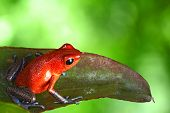 red poison dart frog sitting on leaf with copy space. Exotic rainforest animal bright vivid colors.