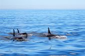 Pod Of Orca Killer Whales Swimming, Victoria, Canada. Blue Sky And Ocean. poster