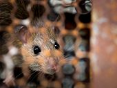 Rat Is Trapped In A Trap Cage Or Trap. The Dirty Rat Has Contagion The Disease To Humans Such As Lep poster
