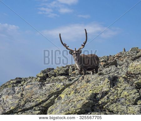 poster of Close Up Male Reindeer Cute Looking To The Camera. Animal In Wild In Natural Environment On Mountain
