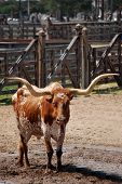 stock photo of texas-longhorn  - Texas longhorn in downtown Fort Worth - JPG