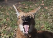 Red Maned Wolf In The Captive Animal Portrait poster
