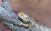 Agama, Reptilian, Scale Wood Beige Dragon Zoology poster