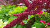 Vivid Amaranthus Caudatus Flowers On Green Plants Background Close Up. Also Known As As Love-lies-bl poster
