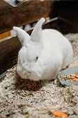 White Rabbit With Red Eyes Eating Carrot. Rabbit Breeding. How To Breed Your Rabbit poster