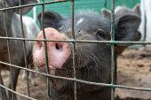 Black Cute Pig With A Pink Snout Nose Close Up Behind The Metal Mesh Fence In The Country Farm poster