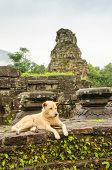 image of champa  - Dog in My Son temple ruins - JPG