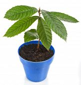 pic of loquat  - Loquat Medlar Seedling Tree  in Blue Pot isolated on a white background - JPG