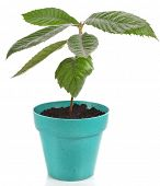 foto of loquat  - Loquat Medlar Seedling Tree  in Pot isolated on a white background - JPG