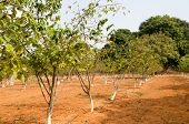 stock photo of rashtrapati  - Rows of sugar apple trees growing in the grounds of Rashtrapati Nilayam - JPG