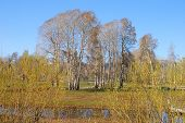 picture of klamath  - A group of alders stand in a farmers meadow in the flats north of Klamath Falls Lake - JPG