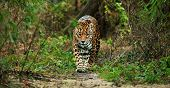 foto of ocelot  - Jaguar walking in the jungle - JPG