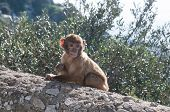 picture of mischief  - A mischief young baby barbary ape munching on a twig - JPG
