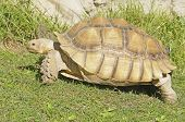 African Spiney Tortoise