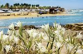 picture of sand lilies  - wild lily growing on sand dunes on the shore of the Mediterranean sea - JPG
