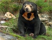 picture of deforestation  - Sean the Sun bear at Wellington Zoo - JPG