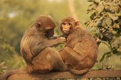 ������, ������: Rhesus Macaques Grooming Each Other New Delhi