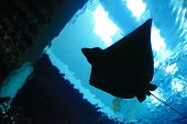pic of stingray  - a beautiful stingray silhouette in the ocean - JPG