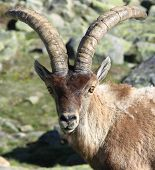 Standing alpine ibex, wild animal living in high altitude