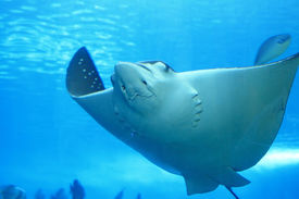 picture of stingray  - a beautiful stingray in the blue ocean - JPG