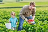 pic of strawberry blonde  - father and little boy of 3 years on organic strawberry farm in summer picking berries - JPG