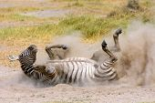 Plains zebra (Equus burchelli) rolling in dust, Amboseli National Park, Kenya