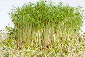 picture of alfalfa  - Fresh alfalfa sprouts and cress on white background - JPG