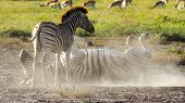 Zebras Playing In The Dust