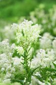 picture of meadowsweet  - Field of white summer wildflowers - JPG
