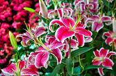 pic of stargazer-lilies  - Colorful Lily, flowers for love and Wedding.