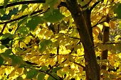stock photo of elm  - September sun shimmer through the elms yellow leaves - JPG