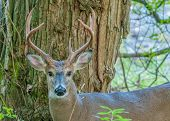 picture of  bucks  - Whitetail Deer Buck standing in a woods - JPG