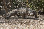 picture of komodo dragon  - Komodo Dragon walking in the wild on Komodo Island - JPG