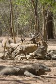 image of komodo dragon  - Komodo Dragon watching a group of wild deers at the waterhole - JPG