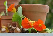 picture of nasturtium  - nasturtium with  terracotta pots and hazelnuts on table - JPG