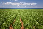 foto of farm landscape  - Rows of potato plants growing in large farm field at Prince Edward Island - JPG