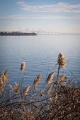 picture of sea oats  - Sea oats growing along the shore with the Chesapeake Bay Bridge in Stevensville - JPG