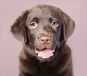 stock photo of chocolate lab  - Chocolate Brown Labrador puppy portrait - JPG