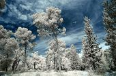 foto of conifers  - Conifer forest near Jerusalem in infrared light at winter Israel. ** Note: Shallow depth of field - JPG