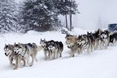 stock photo of sled  - Dog - JPG