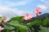 stock photo of ponds  - Lotus flowers and blue sky - JPG