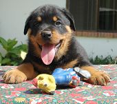 Rottweiler Puppy With Toys poster