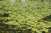 pic of water lily  - Blooming yellow water lily  - JPG