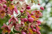 picture of cassia  - Blooming Rainbow Showers,Fresh Pink Cassia javanica,pink shower tree ** Note: Shallow depth of field - JPG