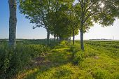 stock photo of row trees  - Double row of trees in sunlight along a field in spring - JPG