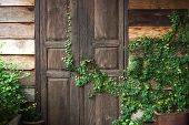 picture of creeper  - Green creeper plant growing on wooden wall and a door of a house - JPG