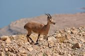 pic of nubian  - Ibex Mountain goats in the Dead Sea Israel - JPG